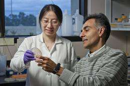 E. coli could convert sugar to biodiesel at 'an extraordinary rate,' say Stanford researchers
