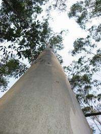 Eucalyptus genetic secrets unlocked