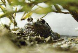 'Extinct' frog hops back into northern Israel (AP)