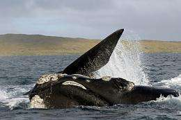 Fighting back from extinction, New Zealand right whale is returning home