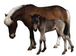 Foals' umbilical cords can be banked for future stem-cell treatments