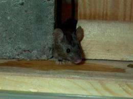 'Freaky mouse' defeats common poison