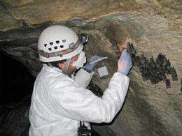Fungus causes white-nose syndrome in bats, researchers confirm