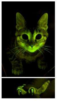 Glowing cats help in fight against AIDS, other diseases