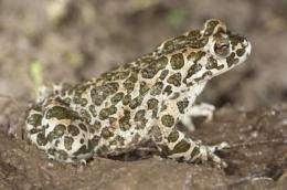 Green toad inhabited Iberian Peninsula 1 million years ago