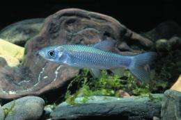 Herbivorous fish like eating meat