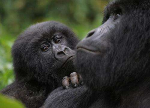 It is only the seventh time in the last 40 years that a gorilla has given birth to twins