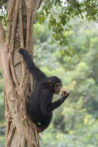 'Junk DNA' defines differences between humans and chimps