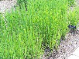 Mutant maize genes increase viability of switch grass for biofuel