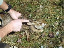 New England cottontail on verge of disappearing from Rhode Island