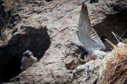 New pollutants detected in peregrine falcon eggs