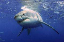 New study illustrates the physics behind great white shark attacks on seals
