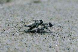 Northeastern beach tiger beetle