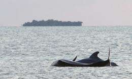 Pilot whales are notorious for stranding themselves on beaches