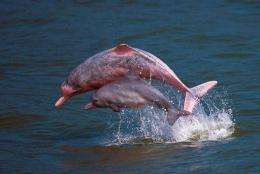 Pink dolphins playing in the waters off Lantau island in Hong Kong
