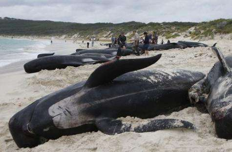 Rescuers gather information from dead long fin pilot whales in Australia