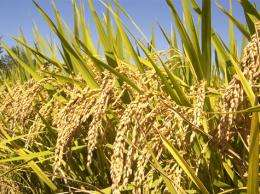 Rice's origins point to China, genome researchers conclude