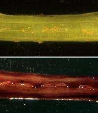 Salivating over wheat plants may net Hessian flies big meal or death