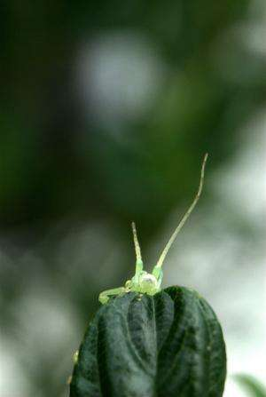 Sexless for a million years, stick bugs elude extinction