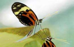 """Since Charles Darwin, biologists have pondered the mystery of """"mimicry butterflies"""""""