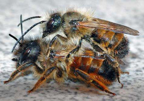 Swarm-like behavior of red mason solitary bees