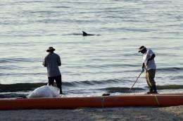 The dorsal fin of a dolphin is seen as clean-up workers collect tar balls in Grand Isle, Louisiana, in 2010