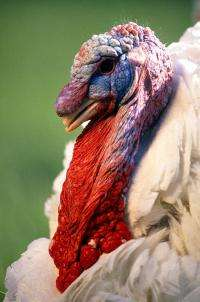 The globe-trotting turkey: Genetic research promises to improve upon a multi-continent breeding effort