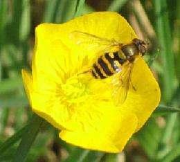 El hoverfly irlandés nativo es un importante polinizador