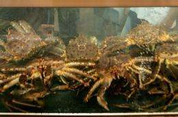 The sea floor around the West Antarctica peninsula could become invaded by a voracious king crab
