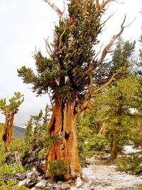 Tree rings open door on 1100 years of El Nino