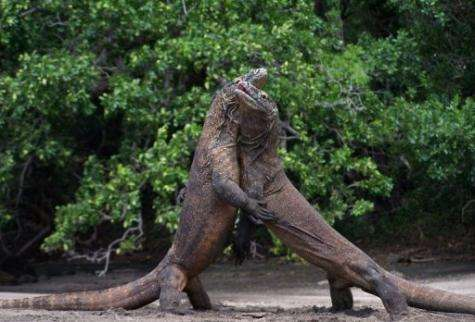 Two male Komodo dragons fight over a female dragon during courtship in Komodo island