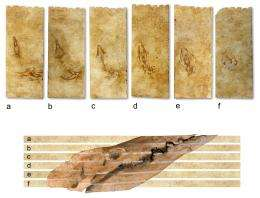 Whale fossils offer clues to transition to water