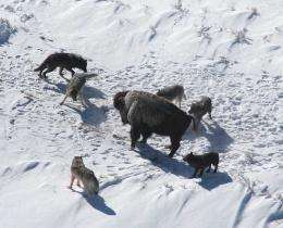 Wolf Hunting Strategy Follows Simple Rules