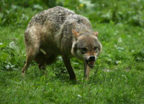 Wolves were eradicated in France in the 1930s, but made a comeback in the southern Alps in 1992