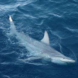 World-first discovery of hybrid sharks off Australia's east coast