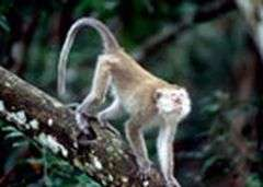 Monkeys provide reservoir for human malaria in South-east Asia