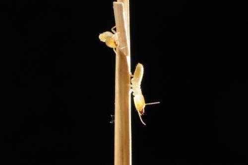 Biologists bore into Canadian termite invasion