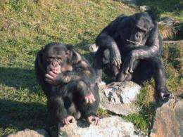 Chimpanzees have policemen, too: study