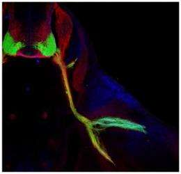 Complex wiring of the nervous system may rely on a just a handful of genes and proteins