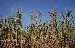 Corn plants struggle to survive in a drought-stricken farm field in Iowa
