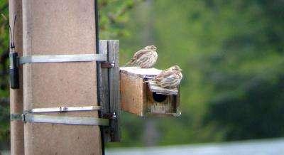 Cuckolded males sing louder