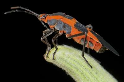 Evolution predictable for insects eating toxic plants