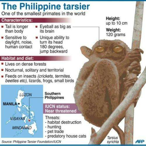 Fact file on the Philippine tarsier, one of the world's smallest primates