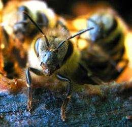 Honey bees fight back against Varroa
