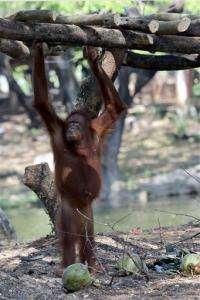 Indonesian zoo moves orangutan to stop her smoking