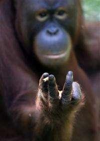 Indonesia to help smoking orangutan kick the habit