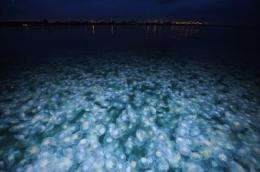 Jellyfish on the rise: study