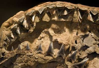 New ancient shark species gives insight into origin of great white
