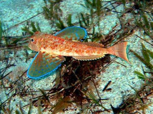 Scientists believe that flying fish evolved out of a need to flee attack from predators