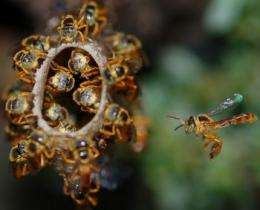Scientists discover first-ever bee 'soldier'